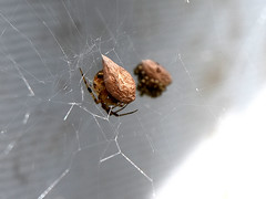 Spider Eggs (Jade Chanoquaway Photography) Tags: insect insects spider spiders eggs web nature outdoor outdoors outside nikon nikkor d5500 bug hatching brown eggsac yellow light shadow contrast bugs canada ontario cans2s animalplanet