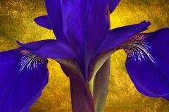 Iris in a Golden Light (njk1951) Tags: iris gold goldenlight purpleiris siberianiris purple bloom blossom details closeup dreamingofiris goldenlightofsummer