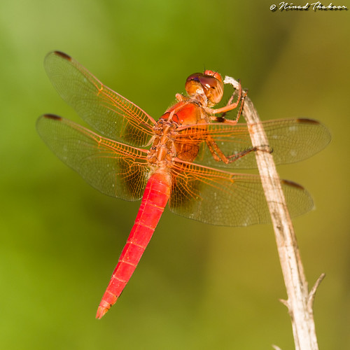 "Neon Skimmer • <a style=""font-size:0.8em;"" href=""http://www.flickr.com/photos/59465790@N04/29088328085/"" target=""_blank"">View on Flickr</a>"