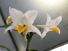 Dendrobium takahashii (Sylvio-Orqudeas) Tags: orqudeas orchids orchidaceae espcies species flores flowers dendrobium takahashii