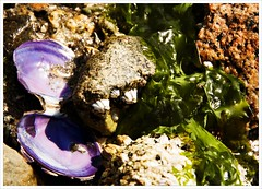 Day 263 - A Pop of Purple (Free 2 Be) Tags: project365 shells beach purple northvancouver photoaday dailyphoto algae catespark 365 postaday seashore seaweed afsdxvrzoomnikkor18200mmf3556gifedii