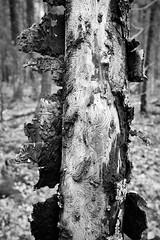 battered (.martinjakab) Tags: monochrome blackandwhite schwarzweiss tree wood holz baum rinde bark muster pattern beetle borke kfer bw fujifilm x100t texture