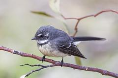 Grey Fantail 2016-08-28 (60D_3043) (ajhaysom) Tags: greyfantail rhipiduraalbiscarpa woodlandshistoricpark greenvale melbourne australia australianbirds canoneos60d sigma150600 rhipiduraalbiscapa
