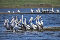 Gathering Of The Pelicans (Geoffsnaps) Tags: nikond810 nikon d810 fx pelicans birds feathers nikonnikkor200500mmf56eedvrafs nikkor 200500mm f56e ed vr afs gitzogm5541carbonmonopod gitzo gm5541 carbon monopod acratechpanoramichead monopodhead acratech panoramic head bjelke petersen dam bjelkepetersendam queensland australia