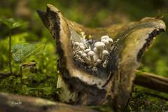 Nyctalis parasitica (hph46 --- some days off!) Tags: deutschland germany bayern pilz fungus mushroom nyctalisparasitica beschleierterzwitterling russulanigricans dickblttrigerschwrztubling sony alpha7r
