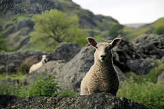 Sheepish (Jason Connolly) Tags: england kentmerevalley thelakedistrict thelakedistrictnationalpark thelakes lakedistrict lakelandlandscape sheep cumbria cumbriancountryside