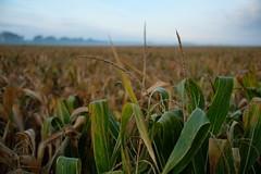 Der letzte Mais (JKLensman) Tags: brandenburg fujixt2 ernte maisfeld mais landwirtschaft fujixf1423
