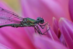 Parc Floral de Vincennes 28.08.12 4399 (MUMU.09) Tags: insectos macro nature insect photo foto dragonfly bild makro libelle insekt liblula  insetto insecte libellule imagem   libellula obraz  owad   hmyz     skordr waka      trollslnda rovar odonate   zdjcie  vka kerengende    feithid  omh mdudu