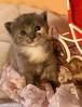 Kesakuu6-2007 052 (Fantasyfan.) Tags: 2 pet baby cute girl animal topv111 furry kitten soft gray young fluffy weeks fantasyfanin pipsa