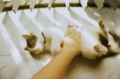 Franny (MaskedPanda) Tags: shadow cats film cat 35mm la lomo lomography hands kitten sardina hand kitty kittens kitties fujifilm domino toycam