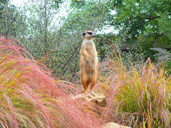 meerkat (John richardson downing) Tags: animals zoo meerkat