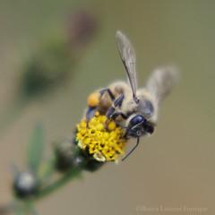 European Honey Bee (Bianca Lazarini) Tags: wild flower macro nature up canon insect eos rebel european close natureza flor bee abelha honey inseto western mm selvagem apis mellifera 70300 xti 400d europia