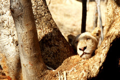 Cat nap! (Mangini Adalberto & Laura) Tags: africa animals wildlife lions simba zambia whitelion mukunibig5