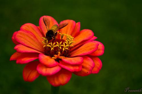 so delicious (prasanth2406) flower nature photography spirit bee supershot flickraward flowersarebeautiful mygearandme prastography
