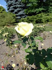 Roses - Hybrid tea rose 'Elina' - Rosaceae SC20120826 287 (fotoproze) Tags: roses canada rose quebec montreal rosen gl rosas rozen 2012 roser    rosor mawar jardinbotaniquedemontral rsir re re  montrealbotanicalgardens trandafiri arrosak ruusut hoahng       rue    rzsk queenrose vrtnice ris  rhosynnau