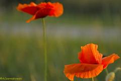 Poppies - Maki (adacze) Tags: flowers plants flower flora maki poppies mak kwiaty foveon kwiat redweed sd15 sigmasd15 złotagodzina