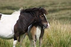 Dartmoor Pony (chrigischuler) Tags: england sky horses horse nature animals clouds cloudy air meadow devon british ponies breed nationaltrust dartmoor herd