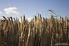 All Ears (DMeadows) Tags: sky cloud field scotland farm farming cereal ears growth crop fields crops stalk dumfriesandgalloway shieldhill davidmeadows dmeadows davidameadows dameadows yahoo:yourpictures=yoursummer yahoo:yourpictures=yourbestphotoof2012