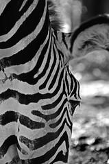 occhio di zebra (gianluigi storto) Tags: zebra occhio animale juventus selvatico strisce mimetismo nascondersi mimetico