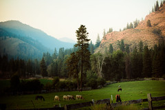 chewuch valley (lifeinthedistrict) Tags: horses cows farm methowriver washingtonnorthcascades