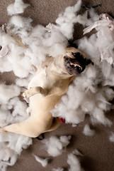 pug australia fluff indoors messy inside rhodes destructive rolling