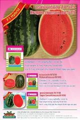 watermelonseedshatgiongduahauDragonCrimson 44 k