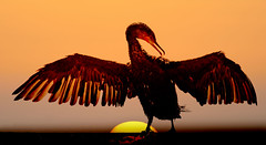 Cormorant-2 (Peter Warne-Epping Forest) Tags: uk sunset wing cormorant drying phalacrocoraxcarbo fiap1