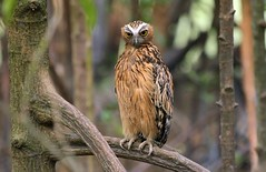 IMG_9220 Buffy Fish Owl (Ericbronson's Photography) Tags: fish bird nature interesting wildlife owl buffy ericbronson