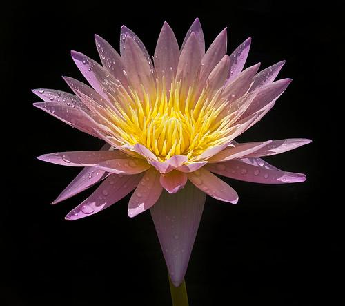 Nymphea Pink Glory, Water Lily, Fairchild Tropical Botanic Garden.
