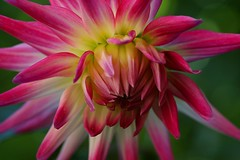 Dahlia (Liisamaria) Tags: ngc flowerfactory amazingnature perfectpetals platinumphoto worldofflowers sognidreams awesomeblossoms saariysqualitypictures unforgettableflowers flowersorinsectsmacro flowersonflickr eliteawards naturescarousel suzysflowergallery asingleflowers exquisitegorgeousflowers
