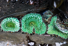 Sea Anemone at the Oregon coast (spollock61) Tags: ocean usa oregon lowtide seacreatures seaanemone otterrock