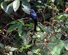 Lesser racquet tailed drongo (magiceye) Tags: india karnataka lesser tailed racquet dandeli drongo