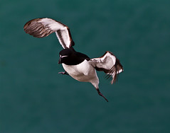 Razorbill (Alchimi) Tags: sea bird wales wildlife skomer