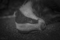 sometimes there is grey - best viewed on black (lown_c) Tags: road white black eye fur dead sadness remember badger died