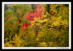 Fall @ Pallisdes Creek, Idaho (Nabin Thomas) Tags: autumn trees fall leaves idaho swanvalley malayalikkoottam pallisadescreek