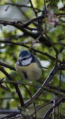 Blue Tit (Rovers number 9) Tags: uk autumn tree bird nature birds minolta bokeh sony lancashire september bluetit 2012 a65 minoltaaf100200f45 sonya350 bkhq sept2012 sonya65