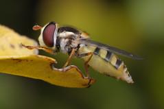 Hoverfly (Rundstedt B. Rovillos) Tags: macro insect fly australia brisbane insekt insekten hoverfly insecte syrphidae brisbanequeensland reverselens diptera macrophotography insecta syrphid strathpine nikkor1855mm sooc insekto straightoutofcamera reverselensadapter kulisap diyflashdiffuser nikond300 rundstedtbrovillos kentuckyfriedchickenplasticbucketlid diykfcflashdiffuser onehandmacroshootmethod kfcdiffuser kfcflashdiffuser auntceliasgarden