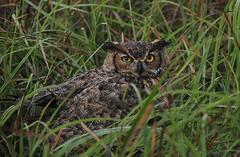 Great Horned Owl (Ruthie Kansas) Tags: bird owl kansas greathornedowl watcher bakerwetlands