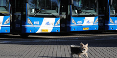 Watchdog ? / Waakhond? (Amsterdam RAIL) Tags: dog chien bus co buses dutch animal cane utrecht bees nederland hond perro hund nederlands  dier hollands gvu watchdog  waakhond kpek  connexxion 4911 4914 4926 schoothondje