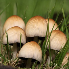 close-up mushrooms , explored! ( #225 ) (bugman11) Tags: macro nature mushroom canon mushrooms flora nederland thenetherlands fungi platinumheartaward 100mm28lmacro photographyforrecreation