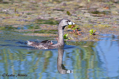 PiedbilledGrebewithChick_MG_7968-2 (lesliemorris) Tags: reflection bird parenthood animal horizontal photography young waterbird nopeople chick riding grebe youngbird piedbilledgrebe podilymbuspodiceps colorimage ricebird freshwaterbird