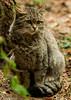 Wilde kat (Caesar56) Tags: wildekat beiersewoud