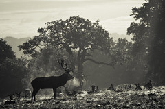 Stag keeping watch