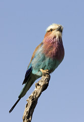 Lilac Breasted Roller (Redkite33) Tags: kenya lilacbreastedroller