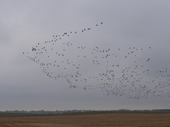 Geese Hunting