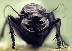 Manticora (Carlos Del Pico (Carlitus91)) Tags: africa red macro monster del giant eyes tiger negro beetle carlos pico terror devil diablo escarabajo tigre miedo asesino assassin monstruo extremo cicindela mandibles mandibulas manticora carlitus carlosdelpico srtyaca carlitus91