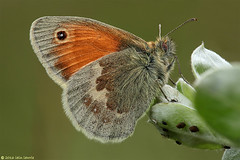 small heath (Iain Lawrie) Tags: macro butterfly focus small stack heath handheld iainlawrie