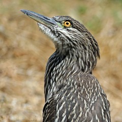 Juvenile Black Crowned Night Heron (Explored) (K. Menzel Photography ( on and off)) Tags: bcnh juvie menzel bird youngster specanimal