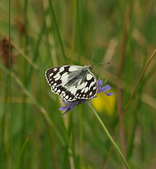 2016_06_0845 (petermit2) Tags: marbledwhitebutterfly marbledwhite butterfly brockadale northyorkshire yorkshire yorkshirewildlifetrust ywt wildlifetrusts wildlifetrust