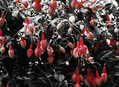 Fuchsia (png nexus) Tags: desaturation rose pink nb bw noir blanc black white